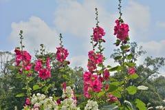 Λουλούδια mallow 10 Στοκ Εικόνες