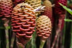 Λουλούδια Maraca Στοκ φωτογραφία με δικαίωμα ελεύθερης χρήσης