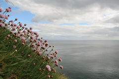 Λουλούδια maritima Armeria στην ακτή της Ιρλανδίας Στοκ Φωτογραφία