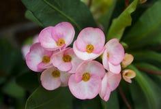 Λουλούδια milli ευφορβίας Στοκ Εικόνα