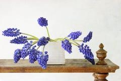 Λουλούδια Muscari υάκινθων στοκ φωτογραφία με δικαίωμα ελεύθερης χρήσης