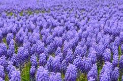 Λουλούδια Muscari Στοκ Φωτογραφία