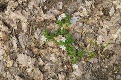 Λουλούδια nemorosa Anemone στο δάσος Στοκ φωτογραφία με δικαίωμα ελεύθερης χρήσης