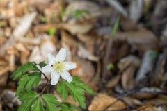 Λουλούδια nemorosa Anemone στο δάσος Στοκ Εικόνες