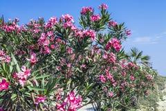 Λουλούδια Oleander Στοκ εικόνα με δικαίωμα ελεύθερης χρήσης