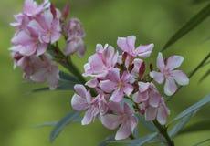 Λουλούδια Oleander Nerium Στοκ φωτογραφία με δικαίωμα ελεύθερης χρήσης