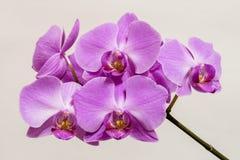 Λουλούδια orchid Στοκ φωτογραφίες με δικαίωμα ελεύθερης χρήσης