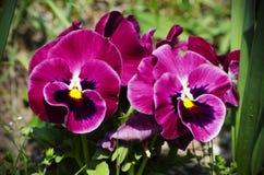 Λουλούδια Pansy Στοκ εικόνες με δικαίωμα ελεύθερης χρήσης