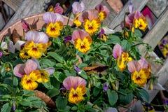 Λουλούδια Pansy Στοκ Φωτογραφίες