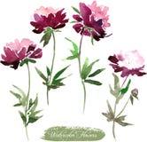 Λουλούδια Peony που σύρουν από το watercolor Στοκ Φωτογραφίες