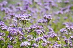 Λουλούδια phacelia ανθών Στοκ εικόνα με δικαίωμα ελεύθερης χρήσης