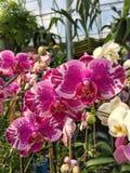 Λουλούδια Phalenopsis Στοκ Φωτογραφίες