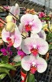 Λουλούδια Phalenopsis Στοκ Φωτογραφία