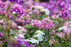 Λουλούδια Phlox Στοκ Εικόνες
