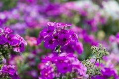 Λουλούδια Phlox Στοκ Φωτογραφία