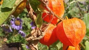 Λουλούδια Physalis Στοκ Εικόνες