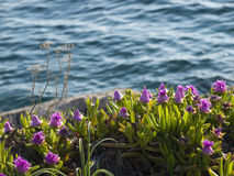 Λουλούδια Pigface στην άνθιση Στοκ εικόνες με δικαίωμα ελεύθερης χρήσης