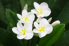 Λουλούδια Plumaria Στοκ εικόνα με δικαίωμα ελεύθερης χρήσης