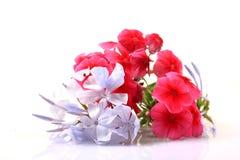 Λουλούδια Plumbago Στοκ φωτογραφίες με δικαίωμα ελεύθερης χρήσης