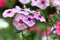 Λουλούδια Plumbago Στοκ φωτογραφία με δικαίωμα ελεύθερης χρήσης