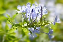 Λουλούδια Plumbago Στοκ εικόνα με δικαίωμα ελεύθερης χρήσης