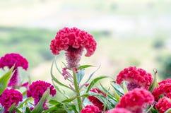 Λουλούδια Plumed cockscomb Στοκ φωτογραφία με δικαίωμα ελεύθερης χρήσης
