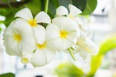Λουλούδια Plumeria, άσπρα λουλούδια στον κήπο Στοκ Φωτογραφίες