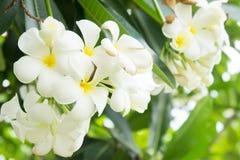 Λουλούδια Plumeria, άσπρα λουλούδια στον κήπο Στοκ εικόνες με δικαίωμα ελεύθερης χρήσης