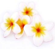 Λουλούδια Plumeria, άσπρα λουλούδια Στοκ Φωτογραφία