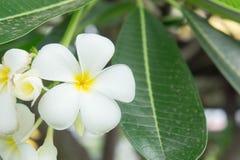 Λουλούδια Plumeria, άσπρα λουλούδια Στοκ Εικόνες