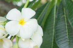 Λουλούδια Plumeria, άσπρα λουλούδια Στοκ Φωτογραφίες