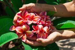 Λουλούδια Plumeria ή λουλούδια frangipani σε ετοιμότητα Στοκ φωτογραφίες με δικαίωμα ελεύθερης χρήσης