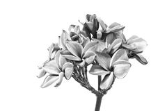 Λουλούδια Plumeria ή λουλούδια frangipani Στοκ Φωτογραφίες