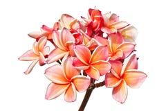 Λουλούδια Plumeria ή λουλούδια frangipani Στοκ φωτογραφία με δικαίωμα ελεύθερης χρήσης