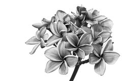 Λουλούδια Plumeria ή λουλούδια frangipani Στοκ Φωτογραφία