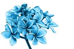 Λουλούδια Plumeria ή λουλούδια frangipani Στοκ Εικόνα