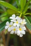Λουλούδια Plumeria, εγκαταστάσεις plumeria Στοκ Φωτογραφίες