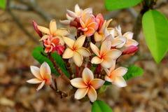 Λουλούδια Plumeria με τα όμορφα χρώματα Στοκ Εικόνες