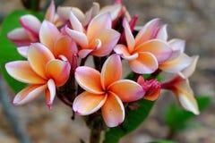 Λουλούδια Plumeria με τα όμορφα χρώματα Στοκ εικόνα με δικαίωμα ελεύθερης χρήσης
