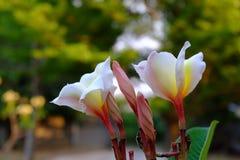 Λουλούδια Plumeria με τα όμορφα χρώματα Στοκ Φωτογραφία