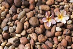 Λουλούδια Plumeria στην καφετιά σύσταση αμμοχάλικου Στοκ φωτογραφία με δικαίωμα ελεύθερης χρήσης