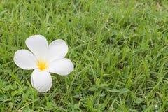Λουλούδια Plumeria στη χλόη Στοκ Φωτογραφίες