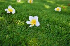 Λουλούδια Plumeria στη χλόη Στοκ εικόνες με δικαίωμα ελεύθερης χρήσης