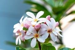 Λουλούδια Plumeria στον κήπο Στοκ φωτογραφία με δικαίωμα ελεύθερης χρήσης