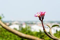 Λουλούδια Plumeria στον κλάδο Στοκ Φωτογραφίες