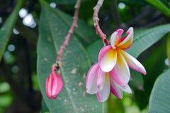 Λουλούδια Plumeria στο δέντρο & x28 Άλλα ονόματα είναι frangipani, Apocynacea Στοκ εικόνες με δικαίωμα ελεύθερης χρήσης