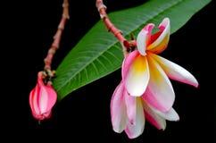 Λουλούδια Plumeria στο δέντρο & x28 Άλλα ονόματα είναι frangipani, Apocynacea Στοκ Φωτογραφία