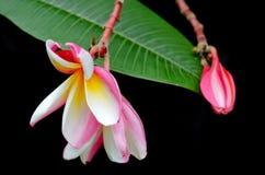 Λουλούδια Plumeria στο δέντρο & x28 Άλλα ονόματα είναι frangipani, Apocynacea Στοκ φωτογραφίες με δικαίωμα ελεύθερης χρήσης