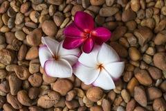 Λουλούδια Plumeria στο αμμοχάλικο Στοκ Φωτογραφία