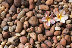 Λουλούδια Plumeria στο αμμοχάλικο Στοκ Εικόνα